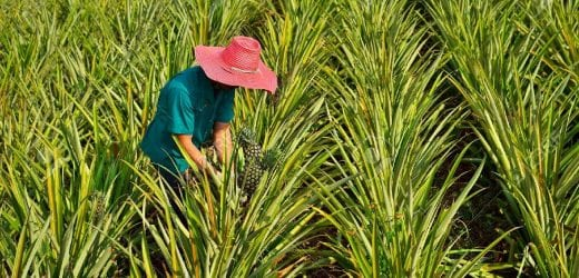 14016409-farmer-harvesting-in-pineapple-farm-fruits-field