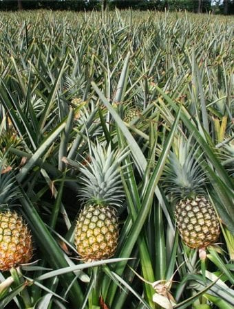 Pineapple-Farming