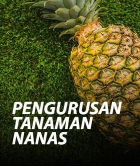 pengurusan tanaman nanas1