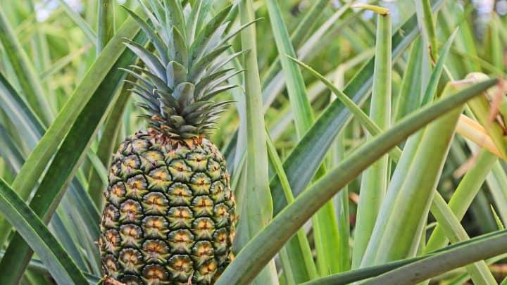 pineappless
